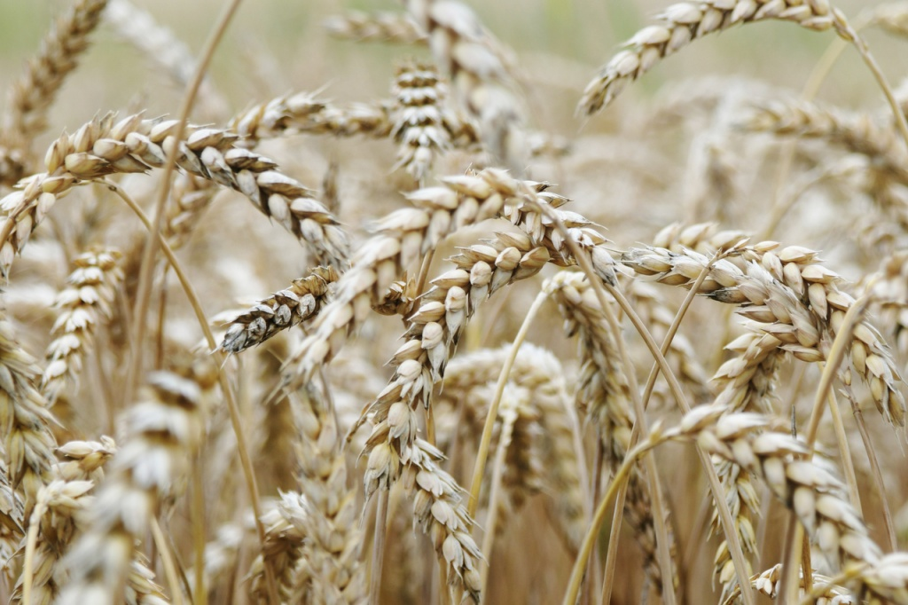 nature-grain-cornfield-malt-food-grain-dinkel-wheat-1593115-pxhere.com.jpg